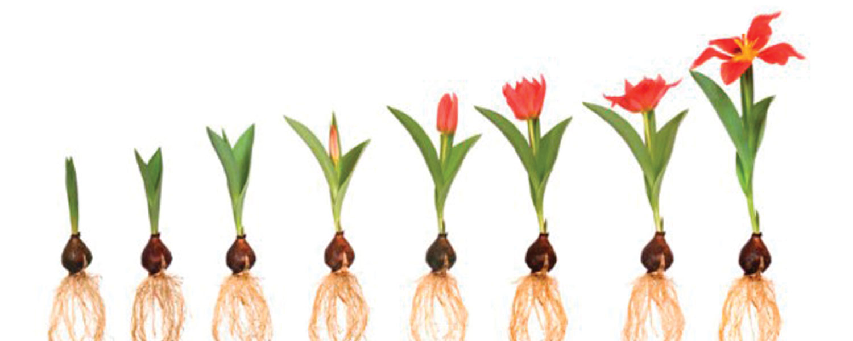 Как вырастить тюльпаны из семян в домашних условиях? 76
